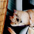 虎柄子猫3兄弟