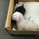 生後1週間程の子猫 - 福岡市