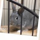 助けてください!2匹ウサギの里親募集してます。