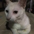 保護猫です。白猫年齢不明です