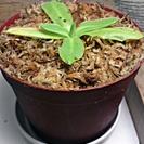 食虫植物 欧州産ムシトリスミレ Pinguicula grand...