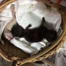 約3週間の子猫の里親を探しています。