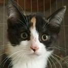 愛らしい三毛猫の仔猫が2匹います!!