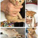 1ヶ月~1ヶ月半の子猫。