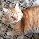 茶とらネコちゃん・成猫・片目・人懐こいです(=^・ω・^=)