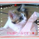 ふわふわ三毛猫女の子3ヶ月☆