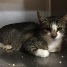 若いお母さん猫、避妊手術済みです。