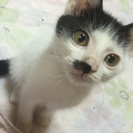 黒白猫ちゃん♂ 黒猫ちゃん♀兄弟 2ヶ月