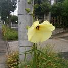 〔終了〕この花の名前を教えてください!→「トロロアオイ」という花でした!