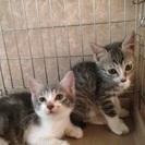 グレー系の子猫 約2カ月