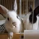 ミニウサギ2匹の里親になって下さい。
