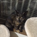 3、4か月くらいのサビの仔猫