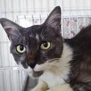 里親さん探してます。生後1~2歳くらいのメス猫