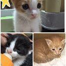 生後1カ月、子猫3匹あげます。かわいい!