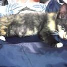 美猫♡黒サビ手白子猫メス♡里親さん急募