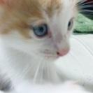 かわいいメスの子猫ちゃんの里親募集の画像