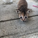 生後二週間の子猫ちゃん 里親募集します!