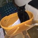 黒猫 メス 約9ヶ月