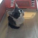交渉中 可愛いグレー色の子猫ちゃん♪女の子