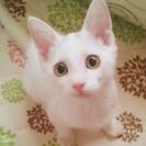 甘えん坊な白猫♂子猫★生後3ヶ月