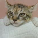 アメリカンカールの愛らしい子猫貰って!