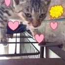 人懐っこく、甘えん坊な3ヶ月のキジトラの女の子・家族募集!