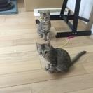 生後三か月かわいい子猫姉妹です