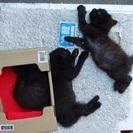 黒っぽい仔猫の里親を募集しています。