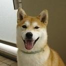 生後9ヶ月の柴犬です。里親さんを探しています。