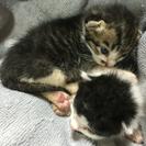生後1ヶ月半の猫
