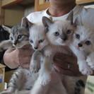 子猫生後40日、4匹里親募集