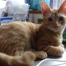 H28.4月生まれ、オス茶トラ猫新しい家族募集中