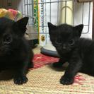 黒猫オスとメスの子猫です