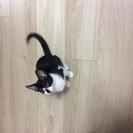ゴロスリ2ヶ月くらいの甘えん坊な女の子 - 猫
