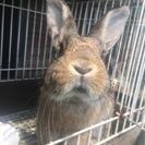 生後5ヶ月のウサギ、お譲りします。