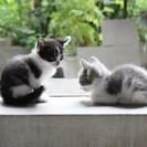 子猫の里親をさがしています