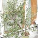6年目実付きのオリーブの木165cm 10号鉢2本立て ミッショ...