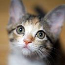 【情報更新】生後3ヶ月三毛系姉妹4匹・しーちゃん