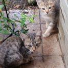 ママ似の美人猫たちです。この子達の里親を募集します。