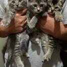 仔猫3匹・里親募集(問い合わせ多数につき一旦受付けを終了します)