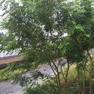 シマトネリコの植木
