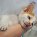 里親募集:生後1か月の男の仔猫ちゃん