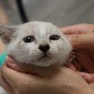 ブルーアイが綺麗なシャムミックス子猫