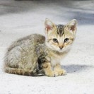 茶色(トラ?)子猫の里親を募集しています