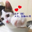完全室内飼育の両親から産まれた姉弟猫です。