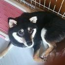 約、生後6ヶ月のオスの黒の柴犬です。里親に成ってくれる方を探しています。