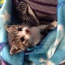決まりました(^_^) キジトラ×白の子猫 生後1ヶ月くらい