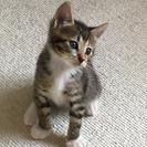 2ヶ月くらいのキジトラの男の子です。