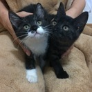 兄妹ネコの里親さんを探しています。