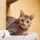 ◆白血病を克服した保護猫◆ キジトラ/女の子/2013年生まれ≫里...